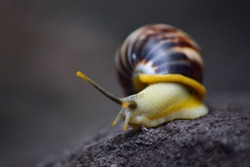 The life of white snails in the wild. The background of a snail with a unique shell pattern. Snail from Indonesia - Wildlife photography