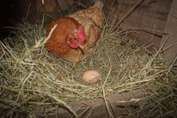 The lifestyle of the farm in the countryside, hens are hatching eggs on a pile of straw in rural farms, fresh eggs from the farm in the countryside. The hen hatches an egg in the compartment.