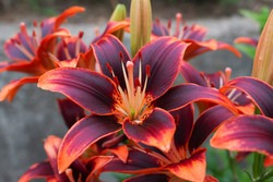 The lily flowers, a combination of dark purple and orange, are in full bloom. The color is dark and unique. The flower language of lilies is pure love.