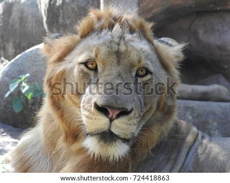 The Lion #724418863