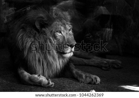 the lion is in the zoo