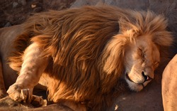 The lion king of beasts sleeps sweetly with dangling paws