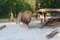 The lion moves around the territory. The concept of preserving rare animal species by keeping them in zoos.