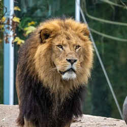The lion, Panthera leo is one of the four big cats in the genus Panthera and a member of the family Felidae.