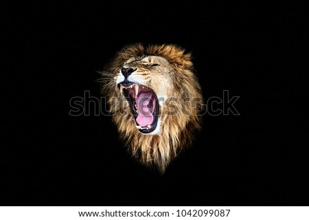 the lion roar, lion portrait #1042099087