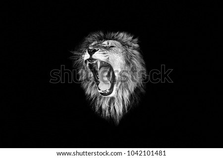 the lion roar,lion portrait #1042101481