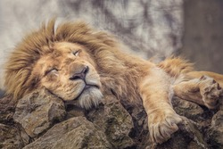 The Lion sleeps peacefully on some rocks.