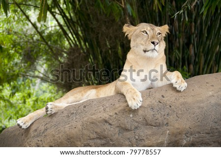 The lioness resting on a rock