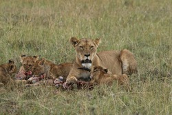 The Lioness was Full and it was the turn for the Cubs to feed, photo was taken in Maasai Mara, Lamek Conservancy on 8th Nov 2019.