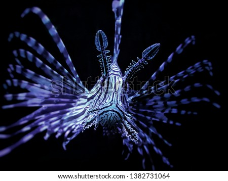The lionfish, a tropical creature with venomous barbs and a painful sting that can kill humans in rare cases. Native to the Indo-Pacific. #1382731064