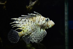 The lionfish is a carnivorous fish native to the Indo-Pacific that is now an invasive species in the Atlantic. The lionfish, a longstanding showstopper in home aquariums.