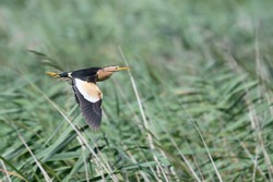 The Little Bittern (Ixobrychus minutus) is a wading bird in the heron family Ardeidae, native to the Old World.