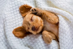 The little brown puppy of the Cocker Spaniel breed is sleeping sweetly. Fluffy pet. Funny moments from the life of a dog. Sweet Dreams.