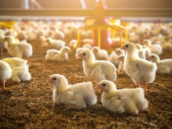 The little chicken in the smart farming. The animals farming business picture with yellow light