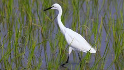 The little egret (Egretta garzetta) is a species of small heron in the family Ardeidae. The genus name comes from the Provençal French Aigrette, egret, a diminutive of Aigron, heron.