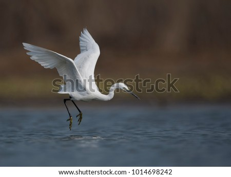 The little egret is a species of small heron in the family Ardeidae. The genus name comes from the Provençal French Aigrette, \