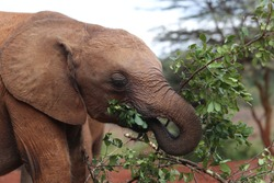 The little elephant eats leaves. Orphanage for elephants - The David Sheldrick Wildlife Trust in Nairobi, Kenya