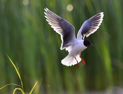The Little Gull (Larus minutus) in flight. Little Gull, Hydrocoloeus minutus or Larus minutus, is a small gull which breeds in northern Europe and Asia.