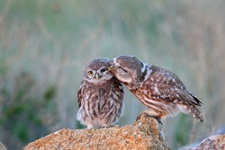 The little owl (Athene noctua) with his chick standing on a stone.