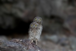 The little owl bird was shot in the Sultanate of Oman