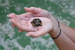 The little turtle is held in the palms