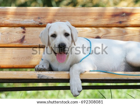 the little yellow labrador puppy sitting in the park