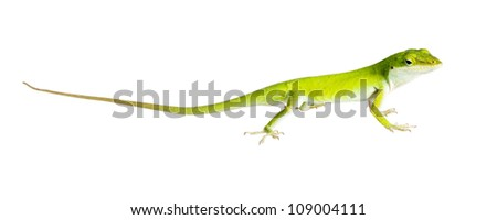 The lizard Northern Green Anole (Anolis carolinensis carolinensis) caught a cricket isolated on white background