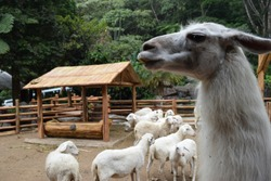 The Llama is a camelidae thin-haired animal which is also a native animal of South America
