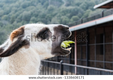 The llama is a domesticated South American came lid, widely used as a meat and pack animal and you can see in the picture how it is eating