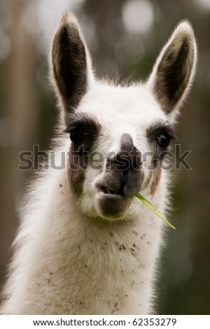 THE LLAMA IS A SOUTH AMERICAN CAMELID, WIDELY USED AS A PACK AND MEAT ANIMAL BY ANDEAN CULTURES SINCE PRE-HISPANIC TIMES