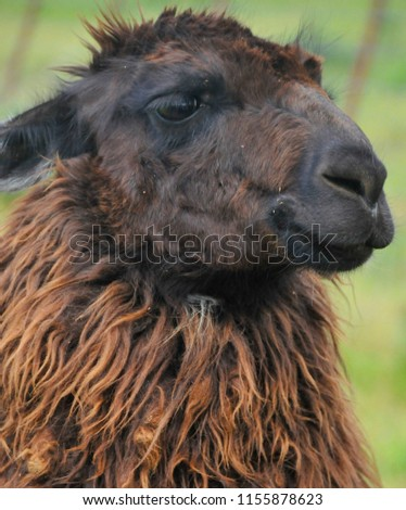 Stock Photo The llama (Lama glama) is a South American camelid, widely used as a meat and pack animal by Andean cultures since pre-Hispanic
