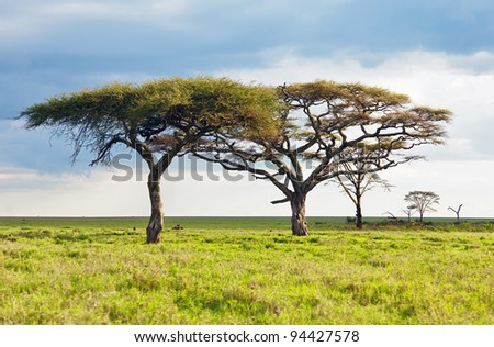 The lofty trees in Serengeti National Park - Tanzania