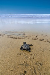 The loggerhead sea turtle after being born on a beach in Boa Vista, Cape Verde, goes to the sea.