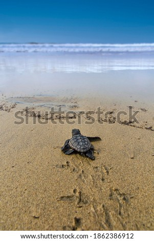The loggerhead sea turtle after being born on a beach in Boa Vista, Cape Verde, goes to the sea. Foto stock ©