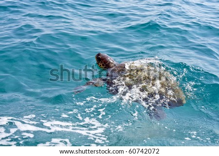 The Loggerhead Sea Turtle (Caretta caretta) - swimming in waters near the island turtle Marathonisi