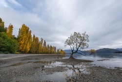 The lone tree in cloudy day of autumn, Wanaka lake, Otago, New Zealand.