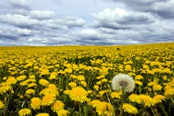 The lonely dandelion out of bloom on a field full of blooms during the nice sunny day. The sky is cloudy.