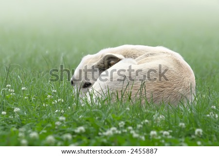 The lonely white dog sleeps on  green meadow at  morning in a dense fog
