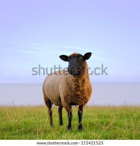 The lonesome sheep.
