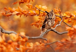 The Long-eared Owl sitting on a tree branch in autumn colours