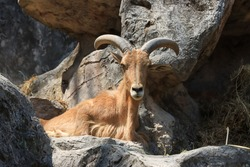 The long horned goat was staring.