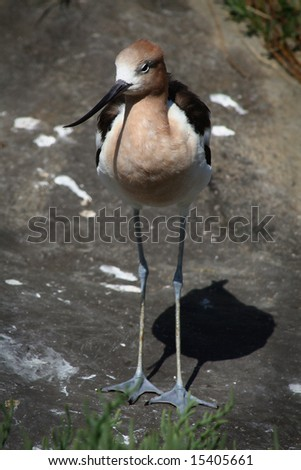 The long-legged American Avocet.
