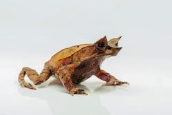 The long-nosed horned frog Megophrys nasuta isolated on white Background