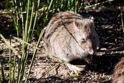 the long nosed potoroo is hiding in the grass