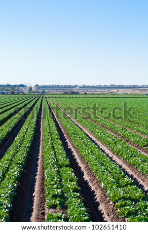 The long straight rows of green lettuce  growing in the Arizona desert, stretch off to the horizon where trucks of migrant field workers harvest.  The precision of the rows is achieved using lasers.