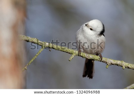 The long-tailed tit or long-tailed bushtit (The long-tailed tit or long-tailed bushtit (Aegithalos caudatus) is a common bird found throughout Europe and Asia) is a common bird found throughout Europe #1324096988