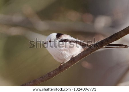 The long-tailed tit or long-tailed bushtit (The long-tailed tit or long-tailed bushtit (Aegithalos caudatus) is a common bird found throughout Europe and Asia) is a common bird found throughout Europe #1324096991