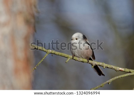 The long-tailed tit or long-tailed bushtit (The long-tailed tit or long-tailed bushtit (Aegithalos caudatus) is a common bird found throughout Europe and Asia) is a common bird found throughout Europe #1324096994
