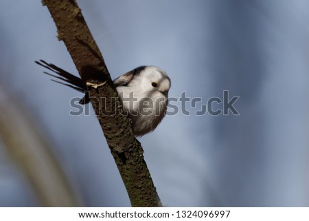 The long-tailed tit or long-tailed bushtit (The long-tailed tit or long-tailed bushtit (Aegithalos caudatus) is a common bird found throughout Europe and Asia) is a common bird found throughout Europe #1324096997