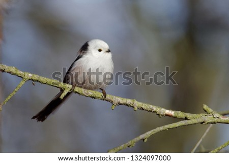 The long-tailed tit or long-tailed bushtit (The long-tailed tit or long-tailed bushtit (Aegithalos caudatus) is a common bird found throughout Europe and Asia) is a common bird found throughout Europe #1324097000